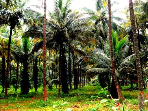 Kondagaun Coconut Plantation